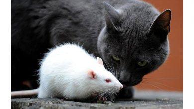 Photo of Kedi ile fare oyunu