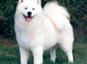 samoyed6ww